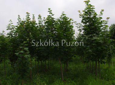 Acer platanoides (klon zwyczajny)