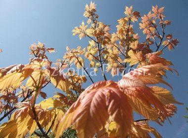 Acer pseudoplatanus (klon jawor) 'Brilliantissimum' (wiosna)