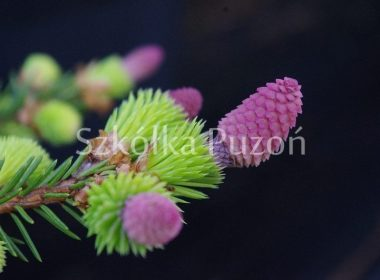 Pices abies (świerk pospolity) 'Acrocona'