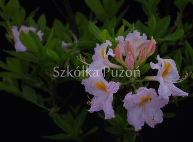 Rhododendron (azalia) 'Silver Slipper'