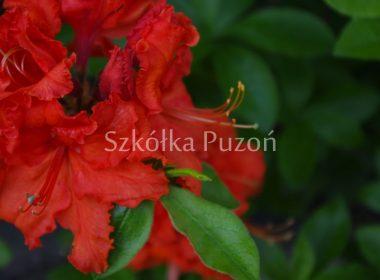Rhododendron (azalia) 'Saturnus'