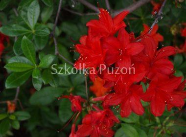 Rhododendron (azalia) 'Nabucco'