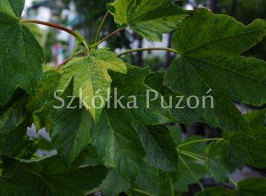 Acer pseudoplatanus (klon jawor) 'Leopoldii'