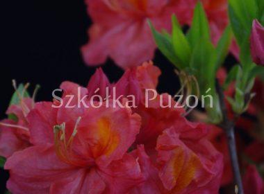 Rhododendron (azalia) 'Juanita'