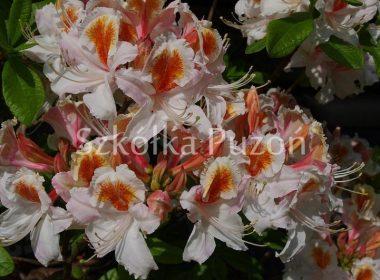 Rhododendron (azalia) 'Jock Brydon'