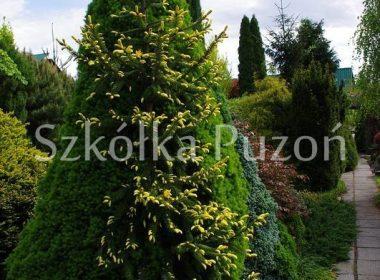 Picea omorica (świerk serbski) 'Aurea'