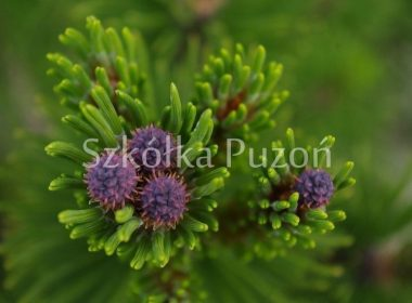 Pinus heldreichii (sosna bośniacka) 'Leucodermis'