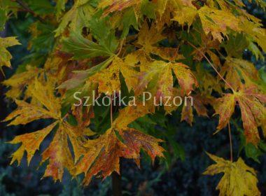 Acer platanoides (klon zwyczajny) 'Palmatyfidum' (jesień)