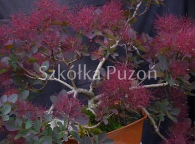 Cotinus coggygria (perukowiec podolski) 'Royal Purple'
