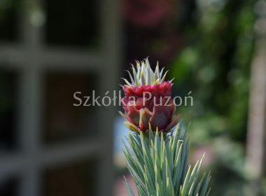Picea (świerk)