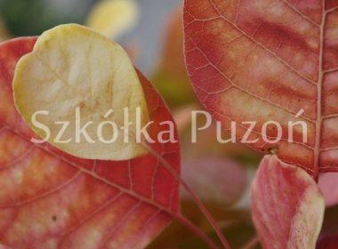 Cotinus coggygria (perukowiec podolski) 'Golden Spirit' (jesień)