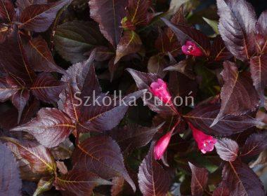 Weigela florida (krzewuszka cudowna) 'Alexandra' / Wine & Roses