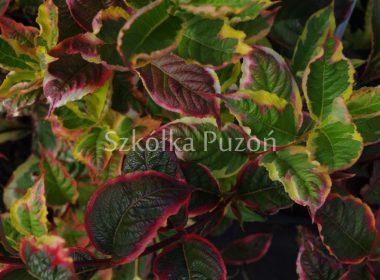 Weigela florida (krzewuszka cudowna) 'Variegata' (jesień)
