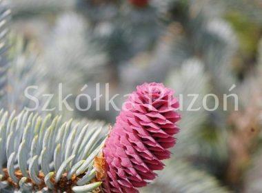 Picea pungens (świerk kłujący) 'Glauca Pendula'