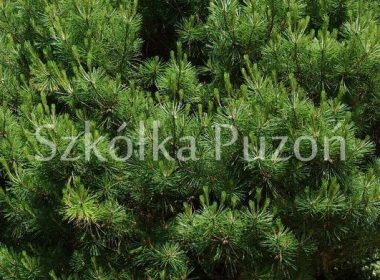 Pinus densiflora (sosna gęstokwiatowa) 'Umbraculifera'