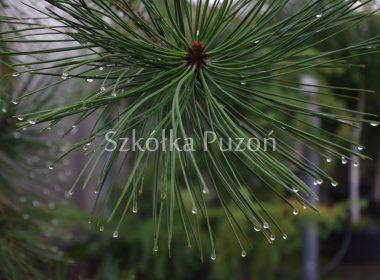 Pinus ponderosa (sosna żółta)