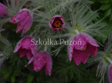 Pulsatilla vulgaris (sasanka zwyczajna) 'Pink Shades'