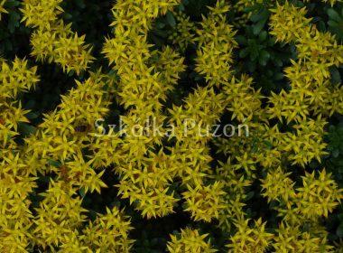 Sedum floriferum (rozchodnik kwiecisty)