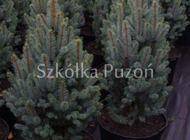 Picea pungens (świerk kłujący) 'Iseli Fastigiate'