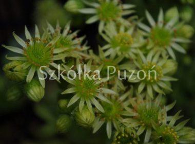 Sempervivum ciliosum (rojnik orzęsiony) borisii