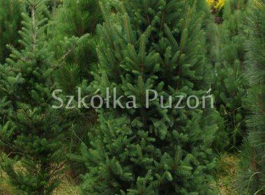 Picea abies (świerk pospolity) 'Cupressina'