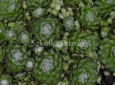 Sempervivum arachnoideum (rojnik pajęczynowaty)