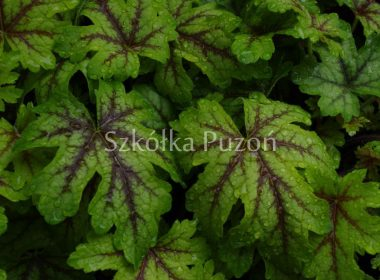 Heuchera (żurawka) 'Alabama Sunrise'