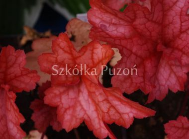 Heuchera x hybrida (żurawka) 'Paprika'