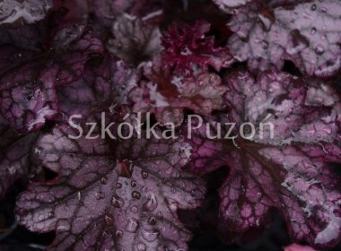 Heuchera (żurawka) 'Plum pudding'