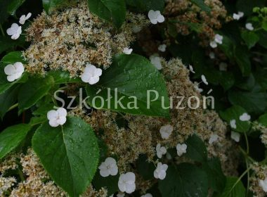 Hydrangea anomala subsp. petiolaris (hortensja pnąca)