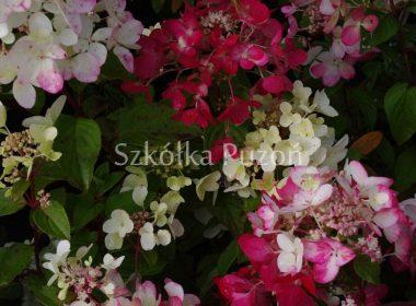 Hydrangea paniculata (hortensja bukietowa) 'Pinky Winky'