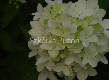 Hydrangea paniculata (hortensja bukietowa)