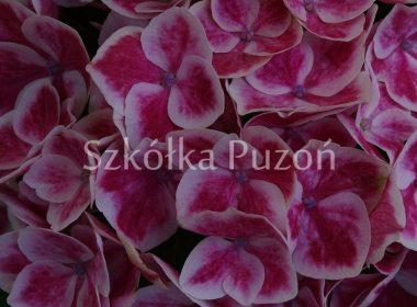 Hydrangea macrophylla (hortensja ogrodowa)
