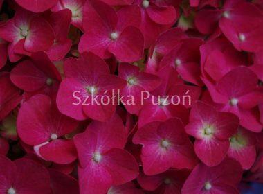 Hydrangea macrophylla (hortensja ogrodowa) 'Leuchtfeuer'