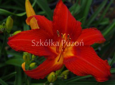 Hemerocallis (liliowiec)