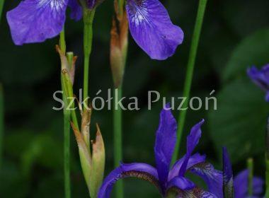 Iris sibirica (kosaciec syberyjski)