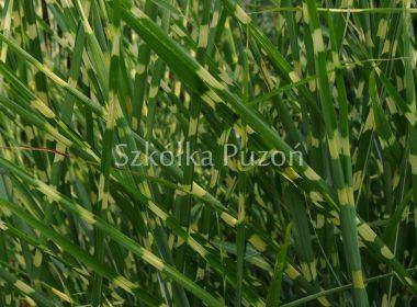 Miscanthus sinensis (miskant chiński) 'Zebrinus'