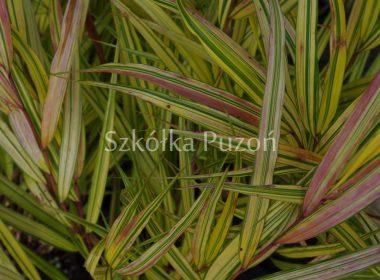 Hakonechloa macra 'Stripe It Rich'