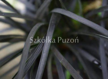 Ophiopogon planiscapus (konwalnik płaskopędowy) 'Black Beard'