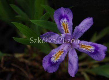 Iris cristata (kosaciec grzebieniasty) (miniaturowy)