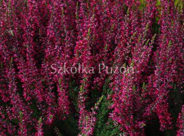 Calluna vulgaris (wrzos pospolity) 'Alexanda'