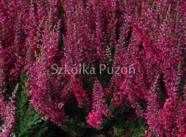 Calluna vulgaris (wrzos pospolity) 'Alexandra'