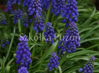 Muscari neglectum (Szafirek groniasty)