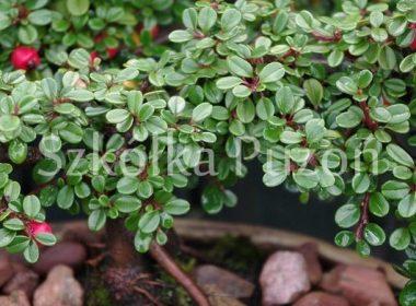 Cotoneaster procumbens (irga płożąca)