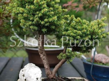 Picea abies (świerk pospolity) 'Little Gem'