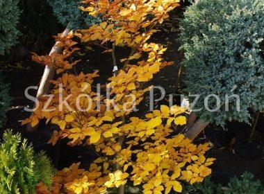 Fagus sylvatica (buk pospolity) (jesień)