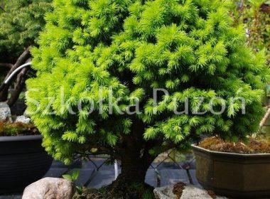 Picea glauca (świerk biały) 'Alberta Globe'