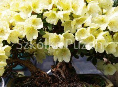 Rhododendron (różanecznik) 'Goldkrone'