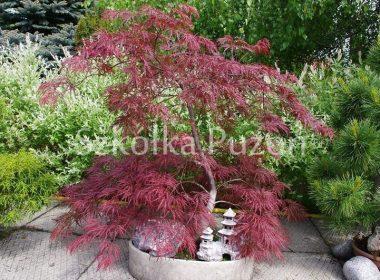 Acer palmatum (klon palmowy) 'Dissectum Inaba-shidare'