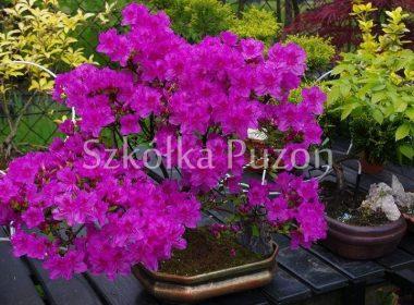 Rhododendron (azalia japońska) 'Kermesina'